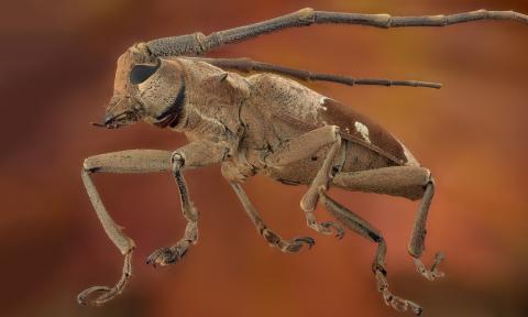 longhorn beetle Thailand