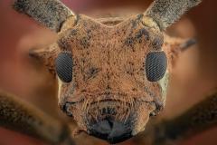 longhorn beetle malaysia