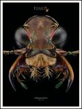 Lophyra-fasciculicornis-Barker-1919