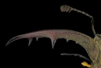 stag beetle [Lucanus tsukamotoi]-Laos-3