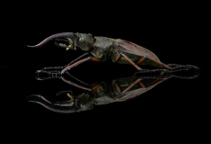 stag beetle [Lucanus tsukamotoi]-Laos-4