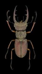 stag beetle [Lucanus tsukamotoi]-Laos