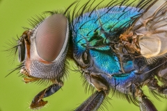 green bottle fly - [Lucilia sericata] UK-2