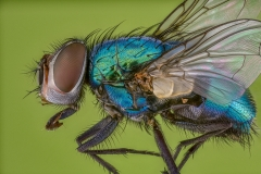 green bottle fly - [Lucilia sericata] UK