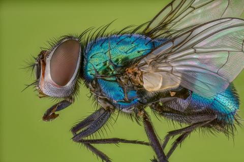 green bottle fly - [Lucilia sericata] UK