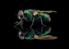greenbottle fly - [Lucilia sericata] - UK