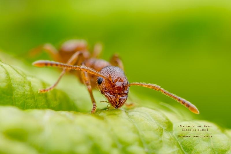 European fire ant  - [Myrmica rubra]