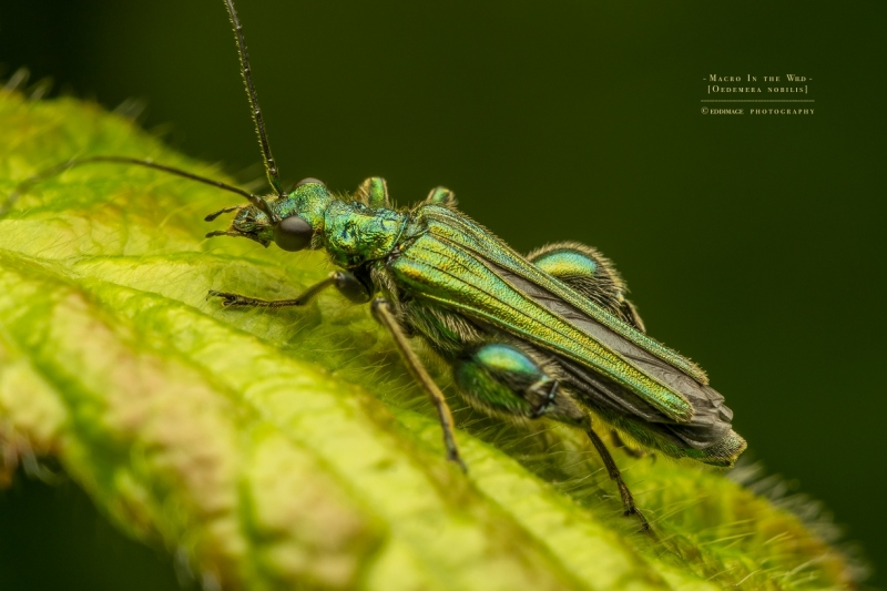 Thick-legged flower beetle - [Oedemera nobilis]