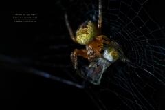cross spider [Araneus diadematus]