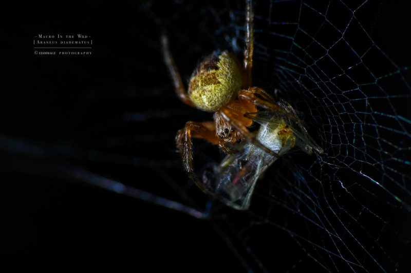cross spider [Araneus diadematus]