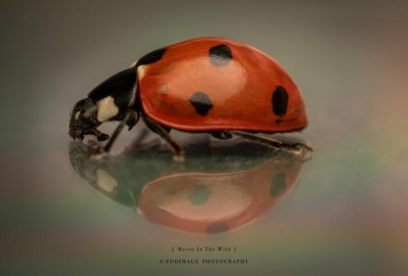 ladybird-UK-2