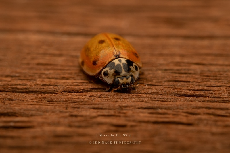 ladybird-UK