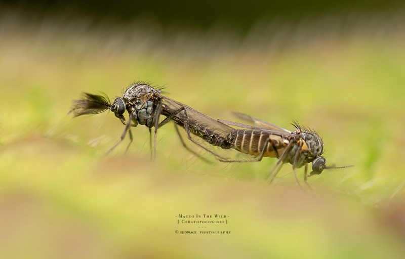 midge-male-and-female-Ceratopogonidae-UK-2