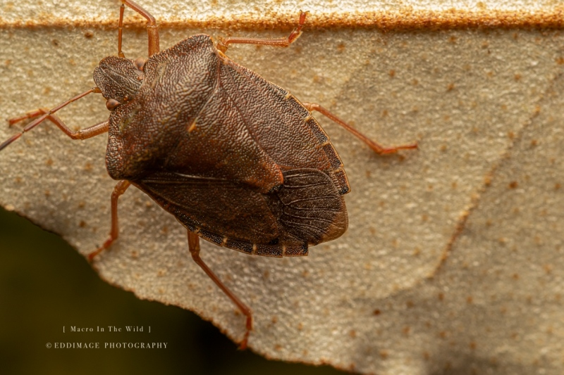 shield-bug-UK