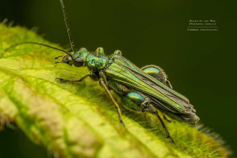 Thick-legged flower beetle - [Oedemera nobilis]