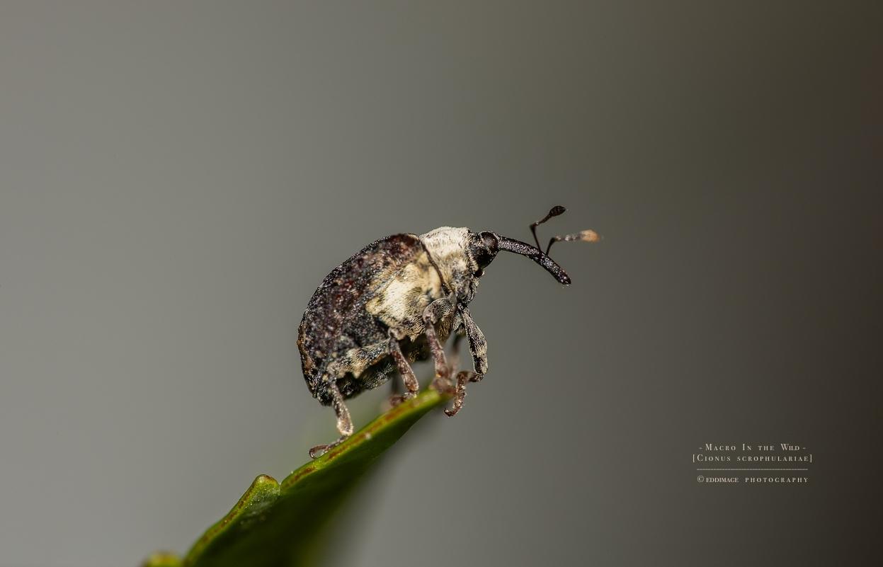 figwort weevil - [Cionus scrophulariae]
