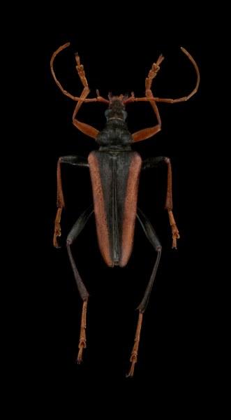 Mastododera-lateralis-Madagascar-3