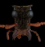 Mastododera-lateralis-Madagascar