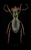 Megacephala regalis angulicollis - Tanzania-2