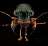 Megacephala regalis angulicollis - Tanzania-3