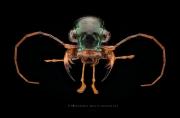 Megacephala regalis angulicollis - Tanzania