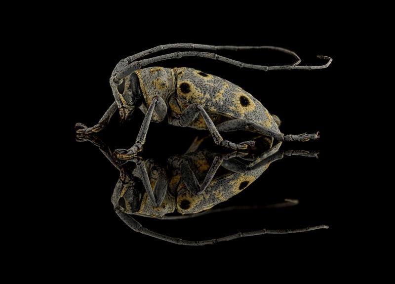 Megalofrea-humeralis-Madagascar-4