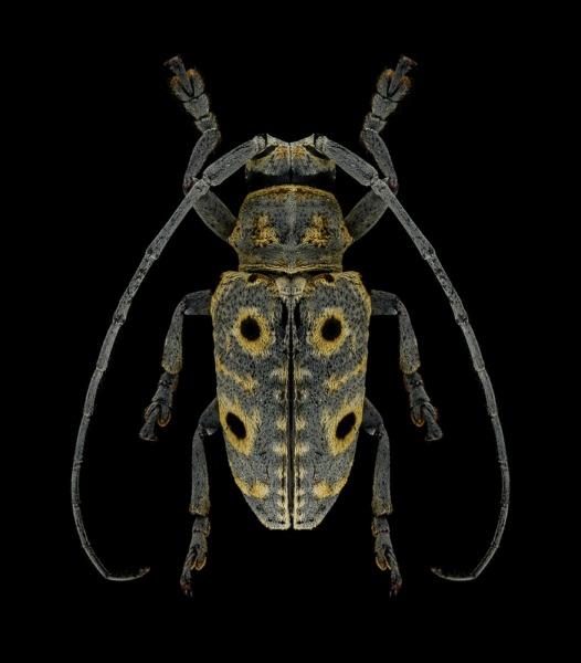 Megalofrea-humeralis-Madagascar