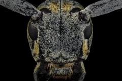 Megalofrea-humeralis-Madagascar-2