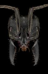 Paltothyreus tarsatus -Southern-Africa-2