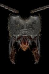 Paltothyreus tarsatus -Southern-Africa-3