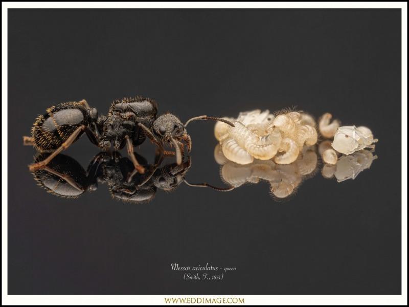 Messor-aciculatus-queen-1-Smith-F.-1874
