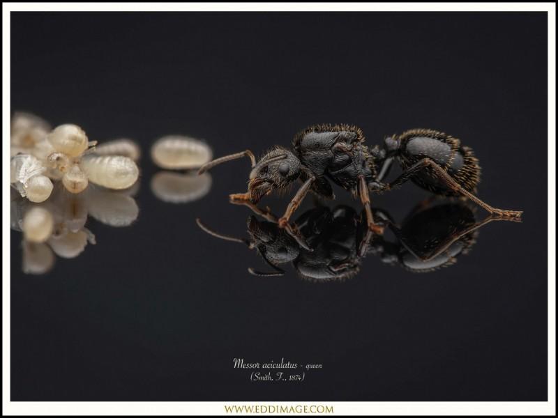 Messor-aciculatus-queen-2-Smith-F.-1874
