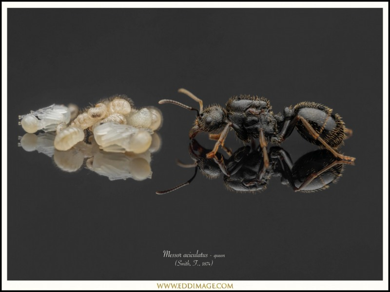 Messor-aciculatus-queen-5-Smith-F.-1874