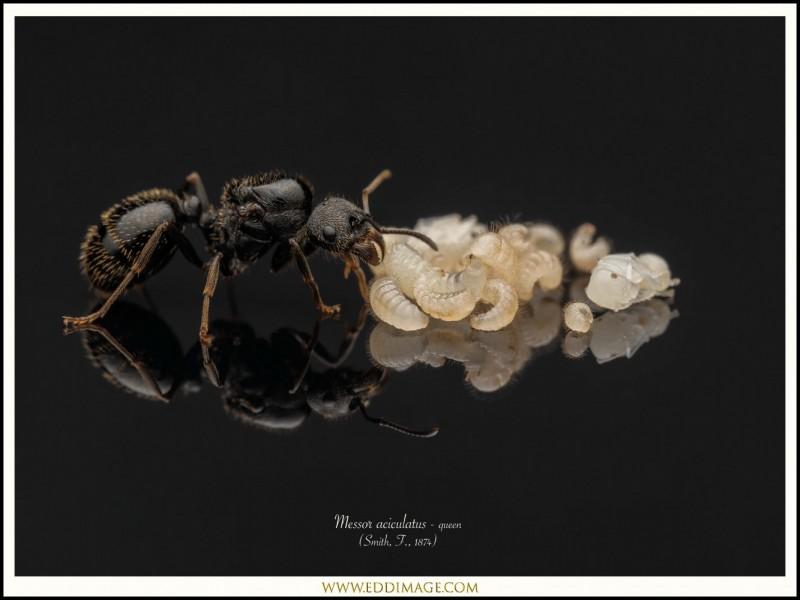 Messor-aciculatus-queen-8-Smith-F.-1874
