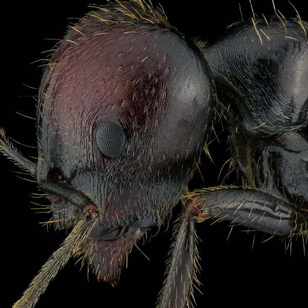 harverster ant [Messor barbarus] Northern Africa-2