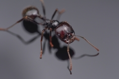 harverster ant [Messor barbarus] Northern Africa-3