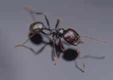 harverster ant [Messor barbarus] Northern Africa-4