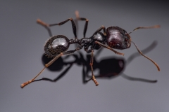 harverster ant [Messor barbarus] Northern Africa-5