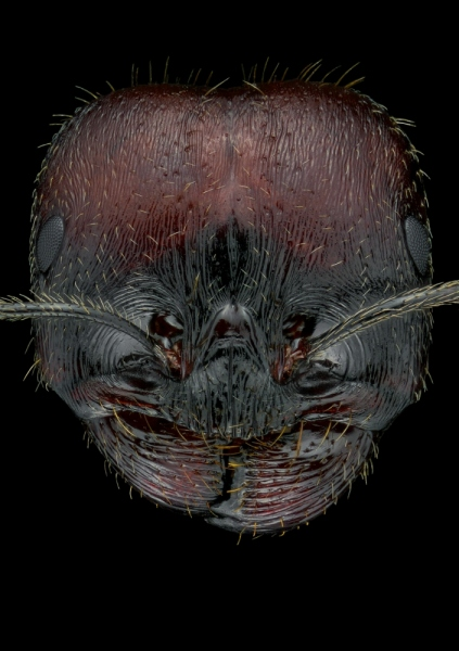 harverster ant [Messor barbarus] Northern Africa