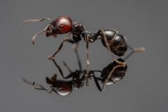 Messor-barbarus-worker
