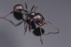 harverster ant [Messor barbarus] Northern Africa-3