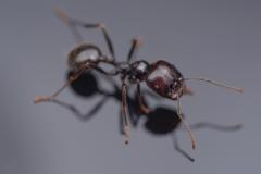 harverster ant [Messor barbarus] Northern Africa-4
