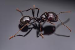 harverster ant [Messor barbarus] Northern Africa-5