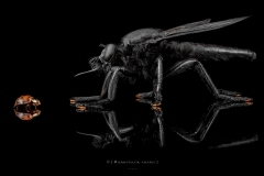 1_Microstylum-cilipes-Madagascar-2