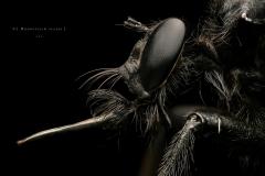 Microstylum cilipes - Madagascar-3