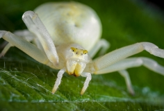 1_white-crab-spider-Misumena-vatia