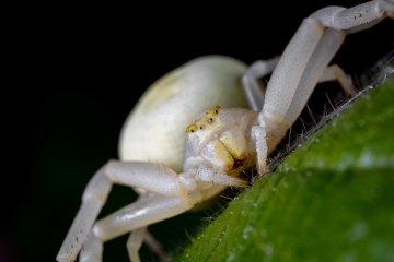 white-crab-spider-Misumena-vatia-2