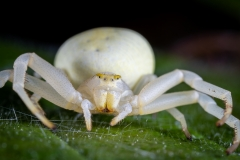 white-crab-spider-Misumena-vatia-3