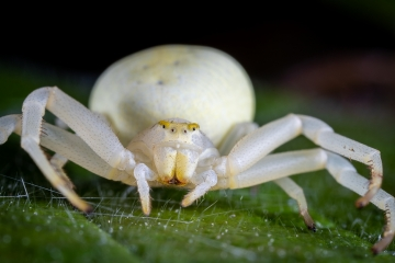 white-crab-spider-Misumena-vatia-3