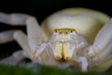 white-crab-spider-Misumena-vatia-4
